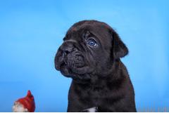 Замечательные породные щенки Кане-Корсо