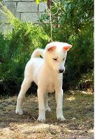 Щенки Японской собаки Кисю