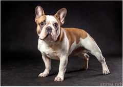 Вязка собак. Французский бульдог