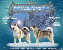 Щенки Аляскинского Маламута (раннее бронирование)