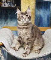 Котята Мейн-кун, разные окрасы
